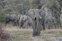 Elefantes en Caprivi