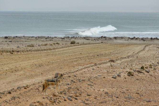 2017-06-namibia-costa-de-los-esqueletos-cape-cross-01-chacal.jpeg