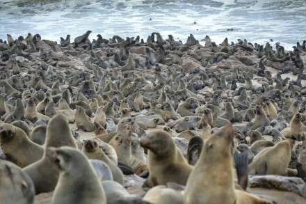 Focas en Cape Cross