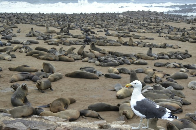 2017-06-namibia-costa-de-los-esqueletos-cape-cross-33