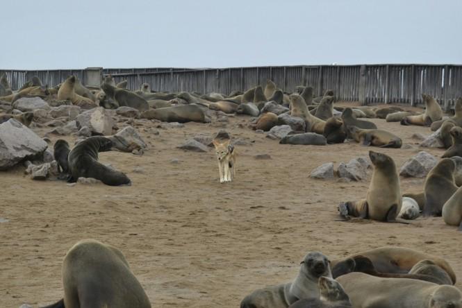 2017-06-namibia-costa-de-los-esqueletos-cape-cross-34-chacal