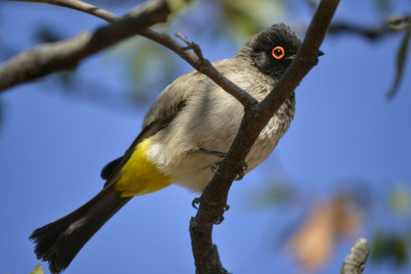 2017-06-namibia-damaraland-hoada-campsite-bulbul-encapuchado-2