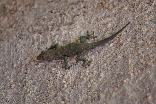 2017-06-namibia-damaraland-hoada-campsite-Geko-rhoptropus