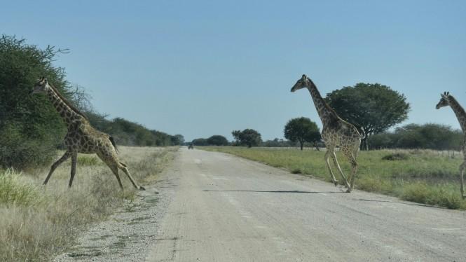 2017-06-namibia-etosha-dia-0-carretera-a-namutoni-1-jirafas