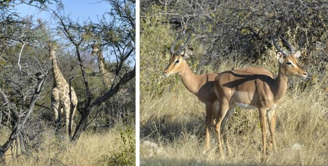 2017-06-namibia-etosha-dia-0-carretera-a-namutoni-2-jirafas-impalas