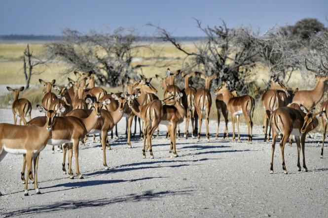 2017-06-namibia-etosha-dia-1-aroe-3-impalas
