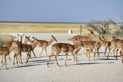 Impalas en Etosha