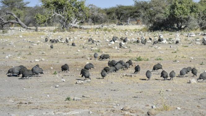2017-06-namibia-etosha-dia-1-chudop-05-pintada-comun