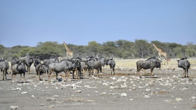 2017-06-namibia-etosha-dia-1-chudop-08-jirafa-impala-wildebeest