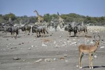 Ñus Azules, Cebras e Impala en Etosha