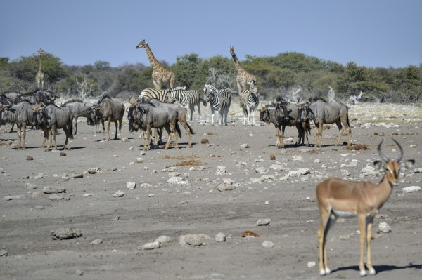 2017-06-namibia-etosha-dia-1-chudop-09-impala-wildebeet-cebra-jirafa.jpeg