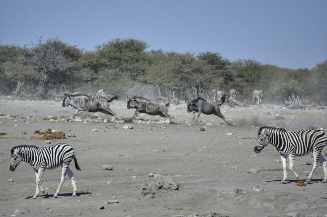 2017-06-namibia-etosha-dia-1-chudop-10-cebra-wildebeest
