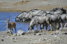 Impala y Ñus Azules en Etosha