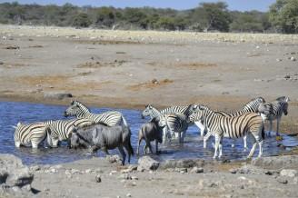 Cebras y Ñus Azules en Etosha