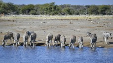 Cebras en Etosha