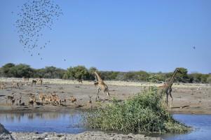 Jirafas, Impalas y Pájaros en el Chudop Waterhole