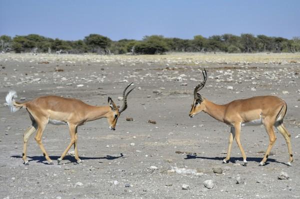 2017-06-namibia-etosha-dia-1-chudop-16-impala