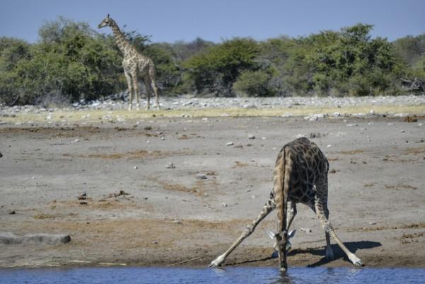 2017-06-namibia-etosha-dia-1-chudop-18-jirafa.jpeg