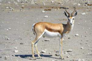 Springbok en Etosha
