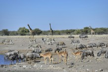 Jirafas, Impalas, Cebras y Ñus Azules en Etosha