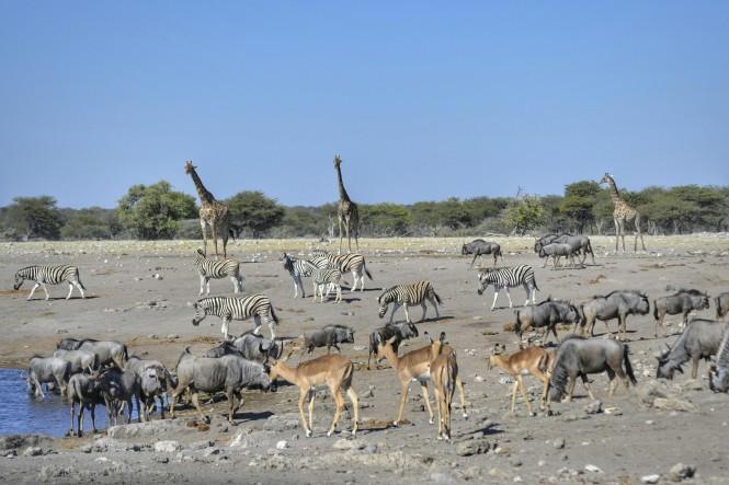 2017-06-namibia-etosha-dia-1-chudop-20-jirafa-wildebeest-impala-cebra.jpeg