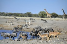 Jirafa, Impalas, Cebras y Ñus Azules en Etosha