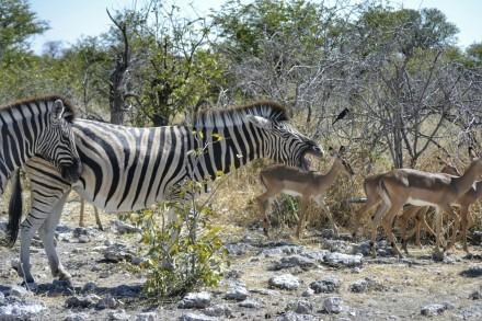 Cebras e Impalas en Etosha
