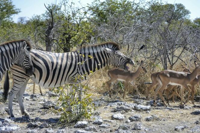 2017-06-namibia-etosha-dia-1-Kalkheuwel-1-Cebras-
