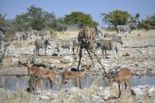 Jirafa, Impalas y Cebras en Etosha