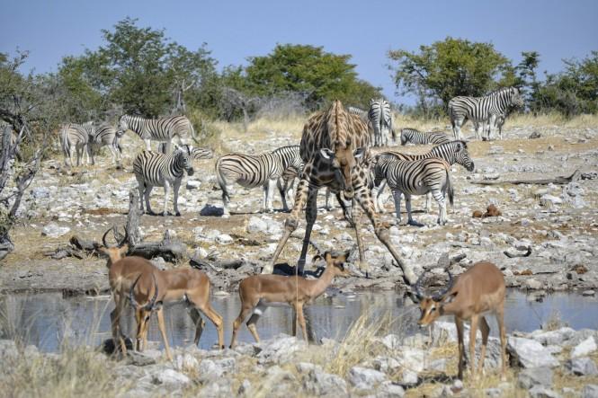 2017-06-namibia-etosha-dia-1-Kalkheuwel-2-impalas-jirafas-cebras.jpeg
