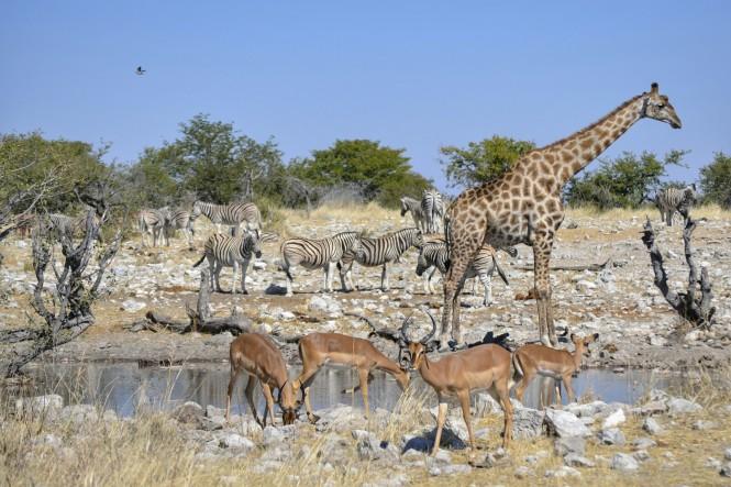 2017-06-namibia-etosha-dia-1-Kalkheuwel-3-impalas-jirafas-cebras.jpeg
