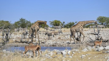 Jirafa, Cebras e Impalas en Etosha