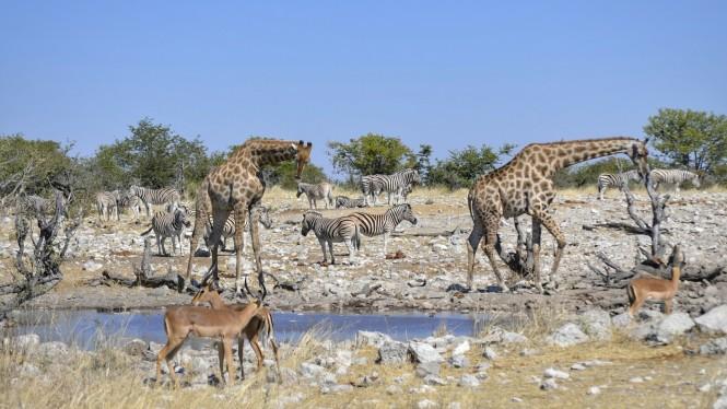 2017-06-namibia-etosha-dia-1-Kalkheuwel-4-impalas-jirafas-cebras.jpeg