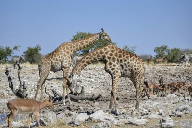 2017-06-namibia-etosha-dia-1-Kalkheuwel-5-impalas-jirafas-cebras