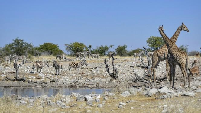 2017-06-namibia-etosha-dia-1-Kalkheuwel-6-impalas-jirafas-cebras.jpeg