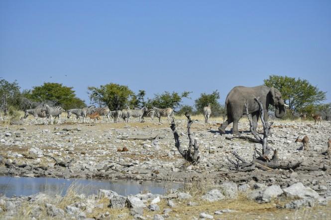 2017-06-namibia-etosha-dia-1-Kalkheuwel-8-elefante-cebras