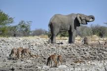 Elefante e Impalas en Etosha
