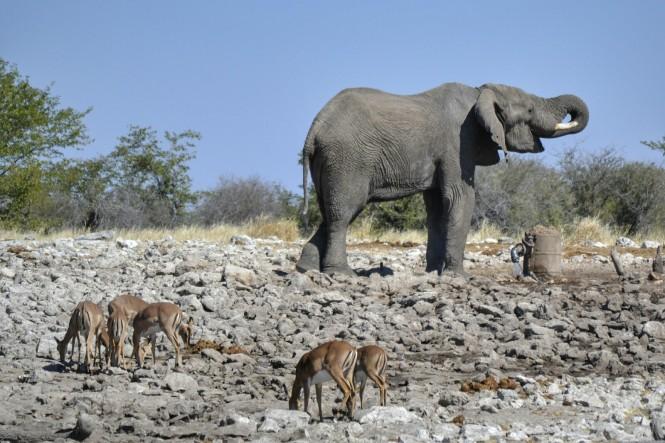 2017-06-namibia-etosha-dia-1-Kalkheuwel-9-elefante-impalas
