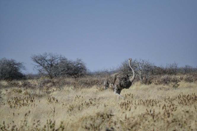 2017-06-namibia-etosha-dia-1-klein-okevi-avestruz