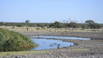 2017-06-namibia-etosha-dia-1-koinachas-pajaritos