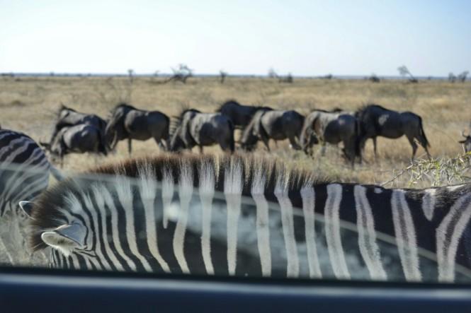 2017-06-namibia-etosha-dia-1-springbokfontein-3-wildebeest-cebras