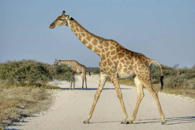 2017-06-namibia-etosha-dia-1-springbokfontein-4-jirafa.jpeg