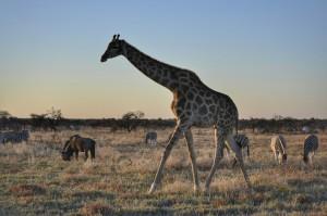 Jirafa, Cebras y Blue Wildebeest en Etosha