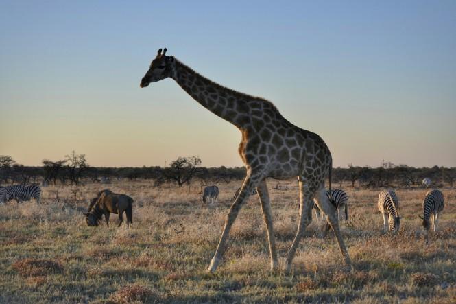 2017-06-namibia-etosha-dia-1-twee-palms-1-jirafa-cebras-blue-wildebeest