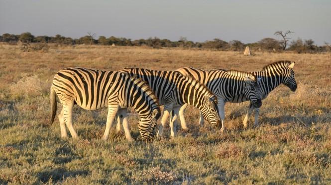 2017-06-namibia-etosha-dia-1-twee-palms-2-cebras