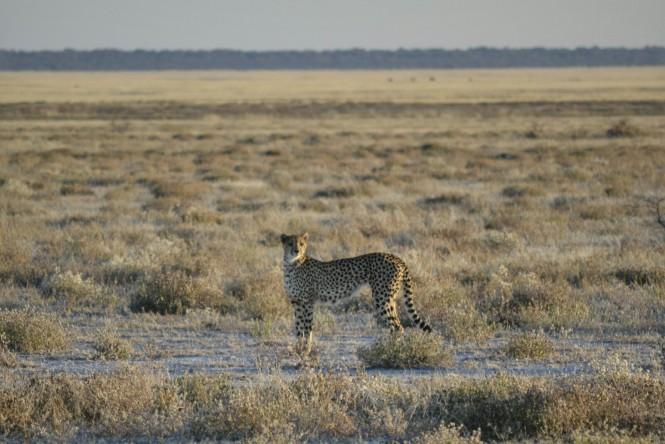 2017-06-namibia-etosha-dia-1-twee-palms-4-guepardo