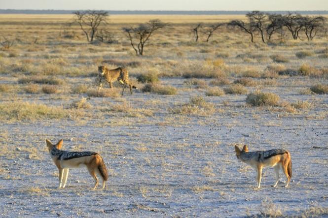 2017-06-namibia-etosha-dia-1-twee-palms-6-guepardo-chacales