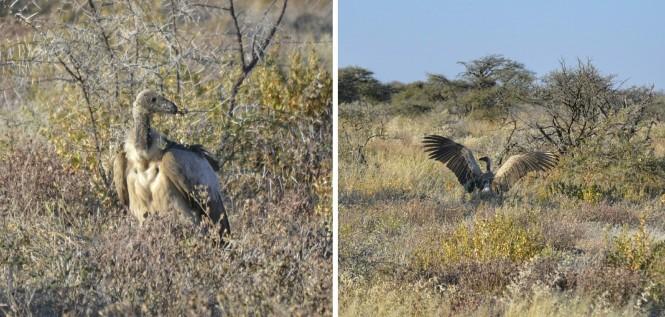 2017-06-namibia-etosha-dia-1-twee-palms-8-buitre-dorsiblanco-africano