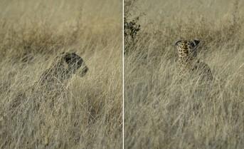 Leopardo en Etosha