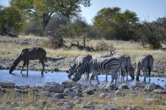 Cebras y Kudus en Etosha